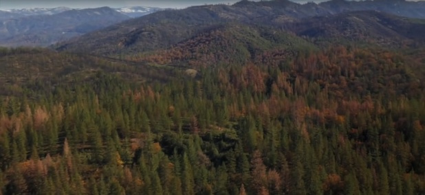 The bark beetle has left its mark across the Sierra Nevada ponderosa forrest.