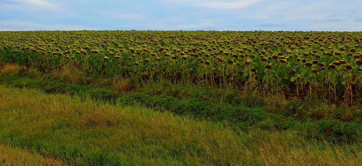 A sunflower field nears harvest time near Akaska, South Dakota.