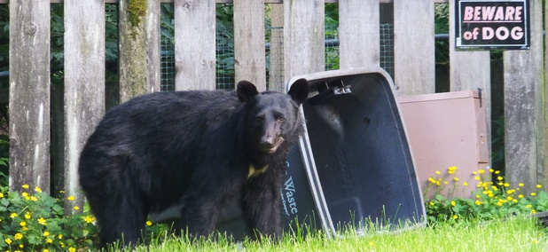 A bear looks up from rifling through the garbage in the front yard of a home in Juneau, Alaska, on Sunday, July 6, 2014.