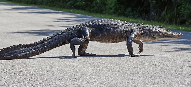 An alligator crosses a bicycle path at Shark Valley in Everglades National Park.