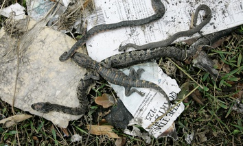 A baby alligator and several snakes are seen dead in a debris pile, Friday, Sept. 19, 2008, in Bridge City, Texas following Hurricane Ike.