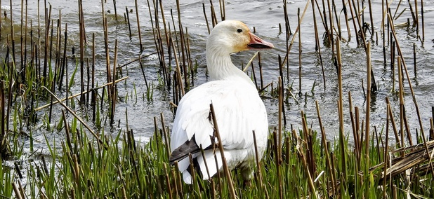 A snow goose in a marsh in North Arlington, New Jersey