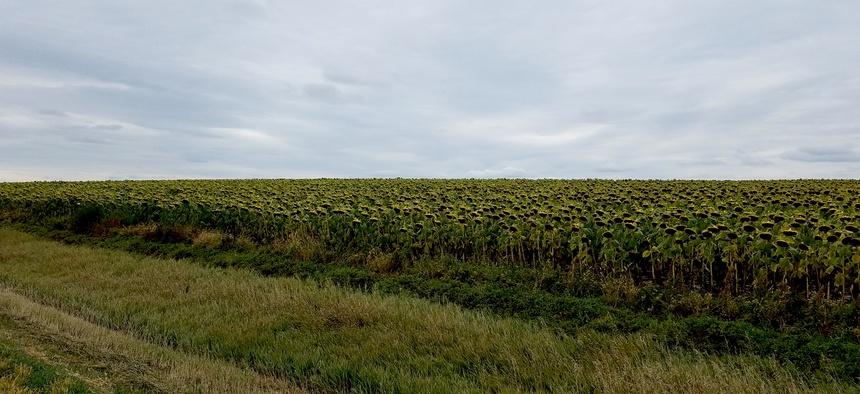Sunflower fields near Akaska, South Dakota