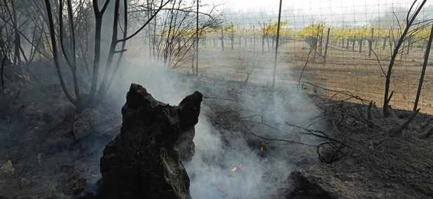 A tree burnt from a wildfire smolders near a vineyard on Oct. 11 in Calistoga, Calif.
