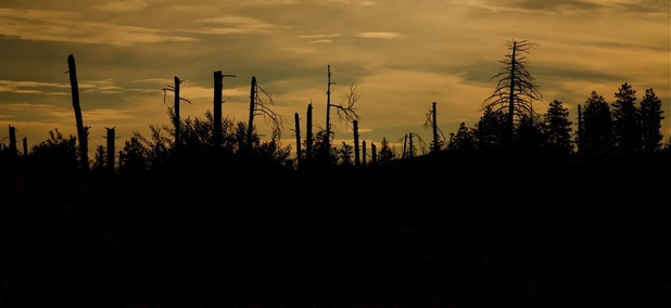 Conifer trees post-wildfire.