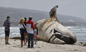 A crowd gathers around the massive carcass of a whale at a popular California surfing spot Tuesday, April 26, 2016, in San Clemente, Calif. Authorities are trying to decide what to do with the massive, rotting carcass.