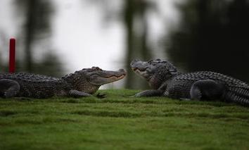 Two alligators loun, ... ]