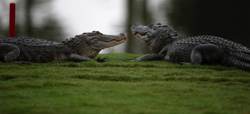 Two alligators loun, ... ]