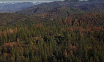The bark beetle has left its mark across the Sierra Nevada ponderosa forrest.