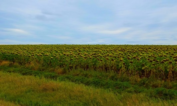 A sunflower field nears harvest time near Akaska, South Dakota.