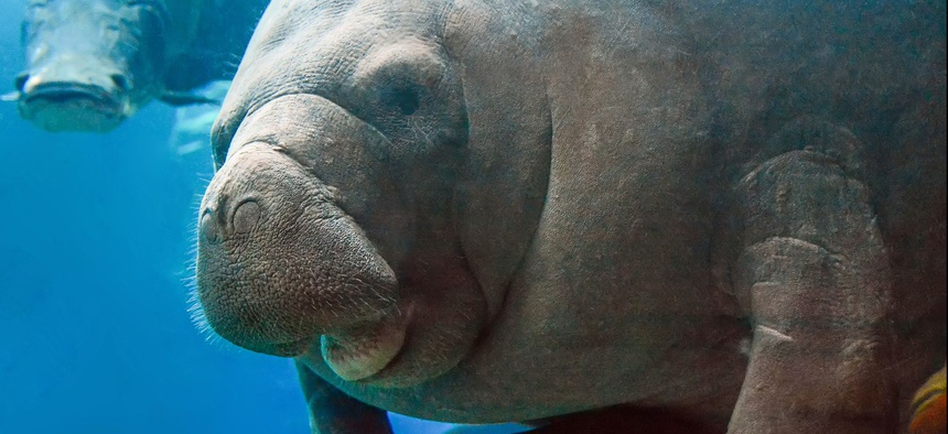 The manatee was recently removed from the endangered list and now classified as a threatened species.