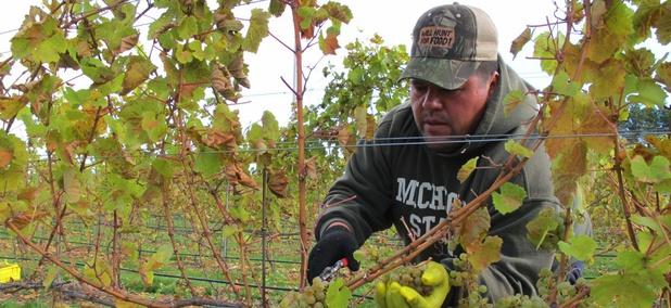 A vineyard on the Leelanau Peninsula in Michigan.