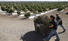 In this Oct. 4, 2016, file photo, farmworkers transport newly-harvested marijuana plants, at Los Suenos Farms, America's largest legal open air marijuana farm, in Avondale, southern Colorado.