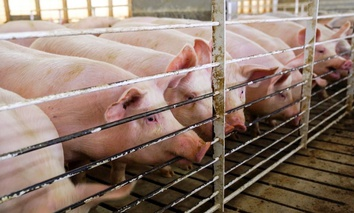 Pigs in a shed in Hawarden, Iowa. Farmers stand to lose revenue on their hogs if China responds to President Trump's plan to impose tariffs on products like Chinese steel with an equal 25-percent charge on U.S. products like pork.