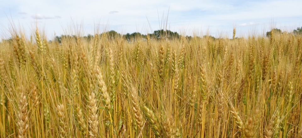 A wheat field near Emporia, Kansas