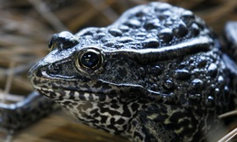 In this Sept. 27, 2011 file photo, a gopher frog is seen at the Audubon Zoo in New Orleans.