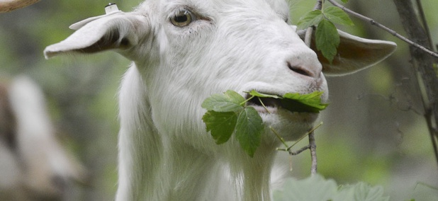 The goats, mostly females and their kids, eat buckthorn and other unwanted vegetation.