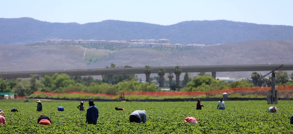 Seasonal farm workers, many of them immigrants, work a field and pick and package strawberries in Lake Forest, California.