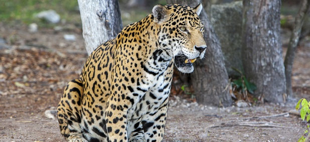 A jaguar sits in shade in Mexico.