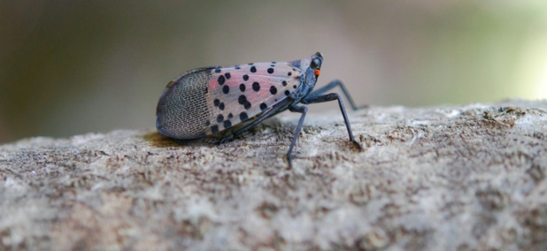 An image of an adult spotted lanternfly.