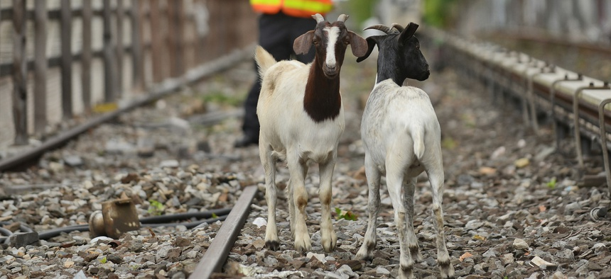 NYPD and Transit workers prepare to retrieve goats from the tracks.