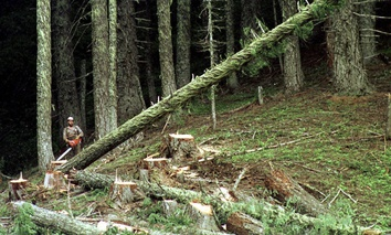In this undated file photo, a large fir tree heads to the forest floor after it is cut by an unidentified logger in the Umpqua National Forest near Oakridge, Ore.