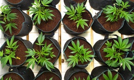 An overhead view of potted marijuana plants.