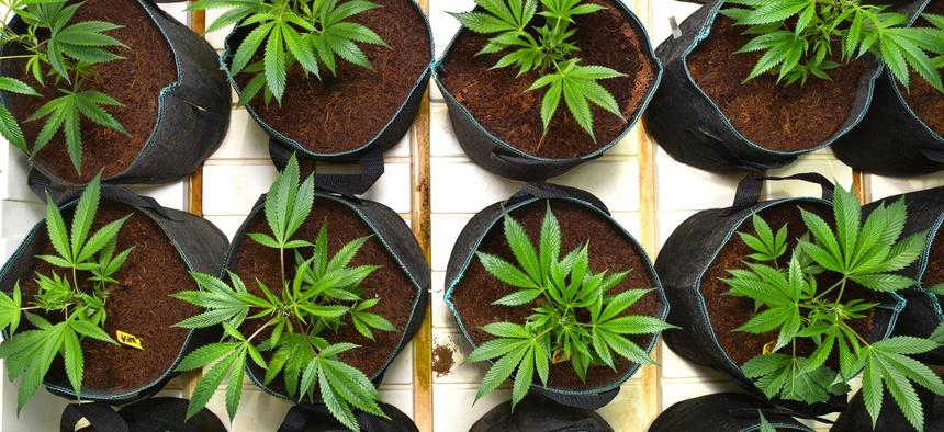 A marijuana grow room at a medical marijuana dispensary in Sun Valley, CA on May 26, 2016.