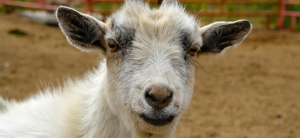 California Town Launches 'Goat Fund Me' for Fire Prevention
