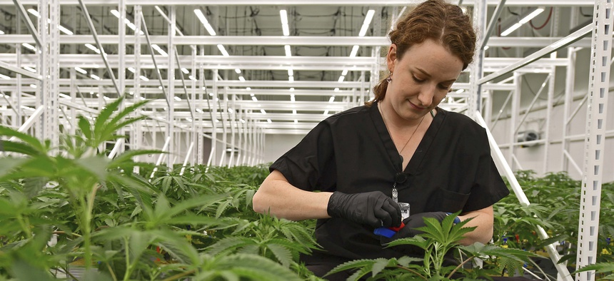 An employee of Buckeye Relief LLC, sorting the male and female marijuana plants inside a Veg Room, Thursday, Sept. 20, 2018, in Eastlake, Ohio.