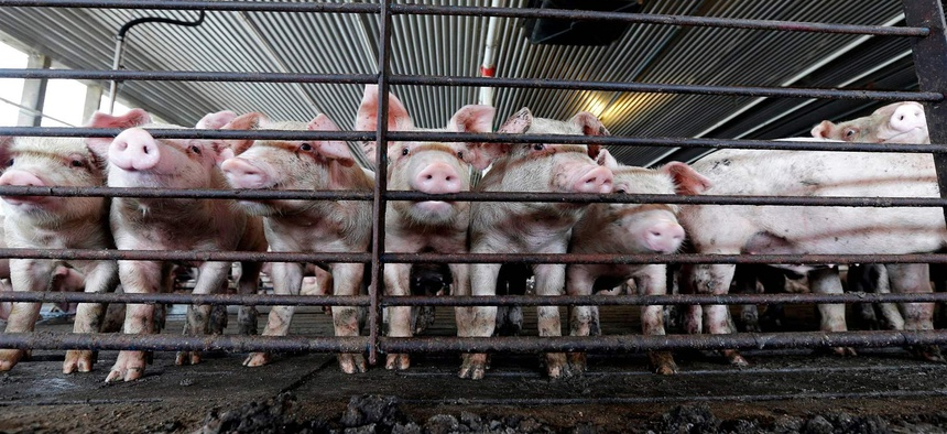 Young hogs in a pen at a farm in Farmville, North Carolina. Large agriculture groups across the United States have pushed for tighter restrictions on nuisance lawsuits against farmers after Smithfield Foods was sued by neighbors in North Carolina.