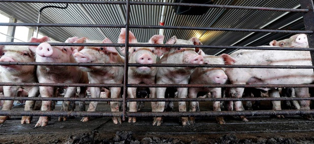 Neighbors Suing Over Pig Fumes Spur 'Right-to-Farm' Push