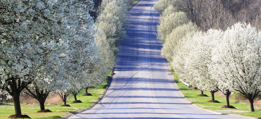 """The Bradford pear tree is often called a """"weed."""""""