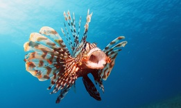 The fish is native to the Indo-Pacific region and is covered in venomous spikes.