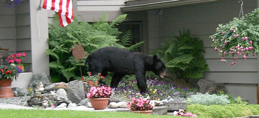 A black bear wanders through a east Anchorage, Alaska, neighborhood on July 17, 2007.