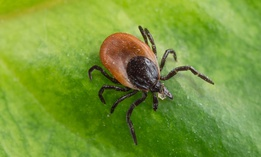 Most of the ticks collected in Vermont are black-legged ticks, about half of which carry the pathogen that can cause Lyme disease.