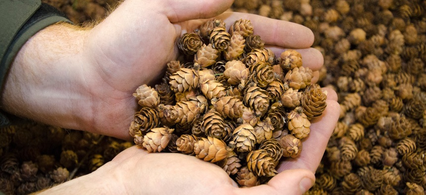 Tamarack cones are among the smallest and the most difficult to harvest.