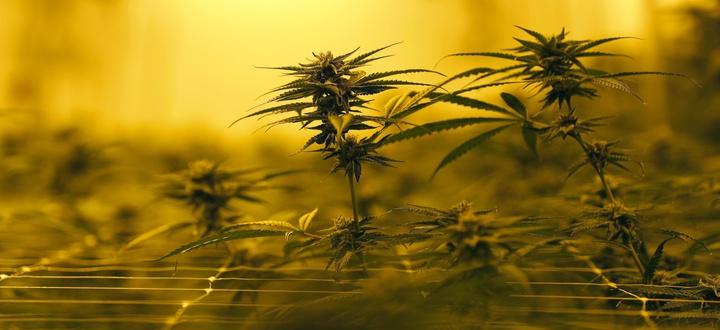 Marijuana plants gr, ... ]