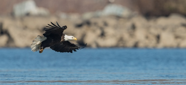 This State's Bald Eagle Population Soared After International Help