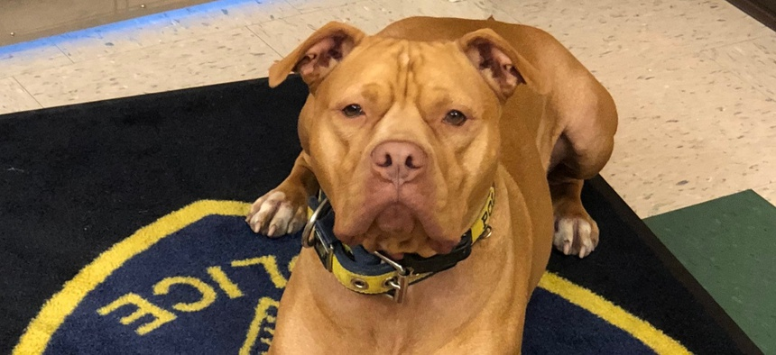 """Leonard, a rescued pit bull, """"doesn't have an off-switch,"""" which makes him ideally suited for drug detection work."""