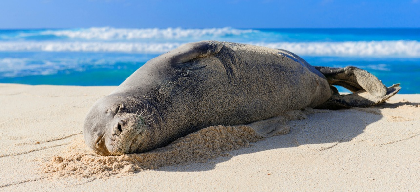 Monk seals are one of the most endangered populations of seals on the planet.