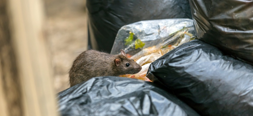 The health, economic and social impacts of rat infestation can be significant.