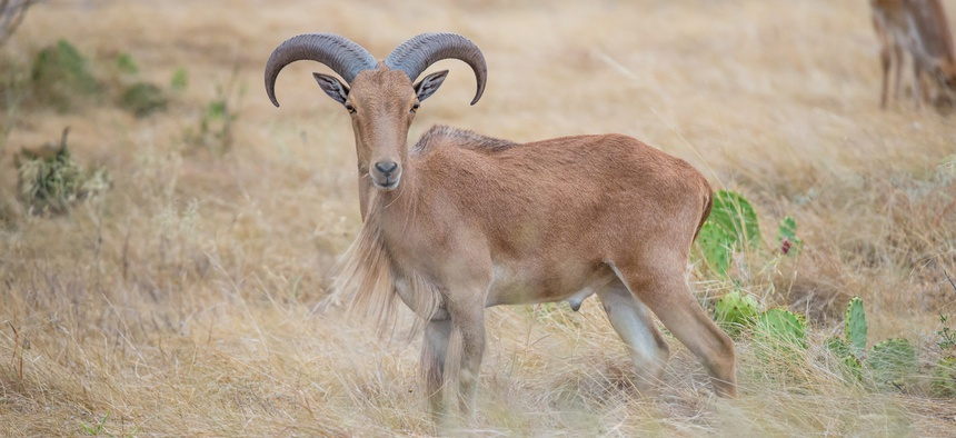 When the native desert bighorn sheep began disappearing from West Texas in the early 20th century, the North African aoudad took their place.